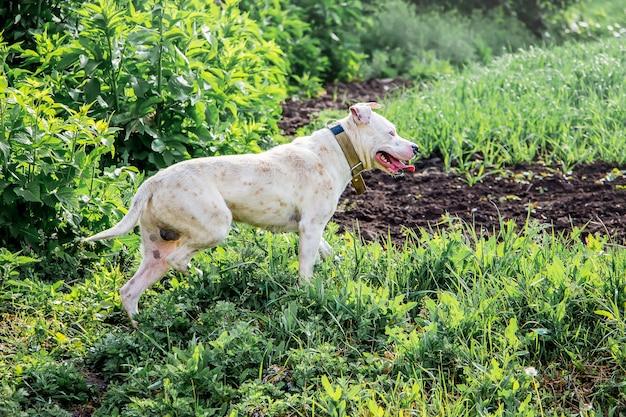 Biały pies pitbull na pastwisku chroni stado. zwierzęta są ludzkimi pomocnikami