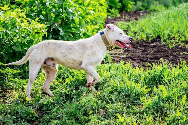 Biały pies pitbull na polu chroni stado bydła. pies na spacerze