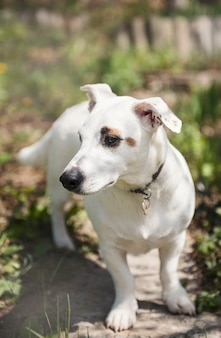 Biały pies rasy jack russell terrier w ogrodzie