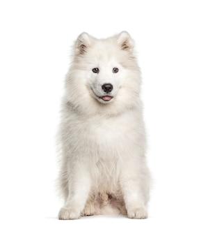 Biały pies samojeda, siedzący i dyszący, na białym tle