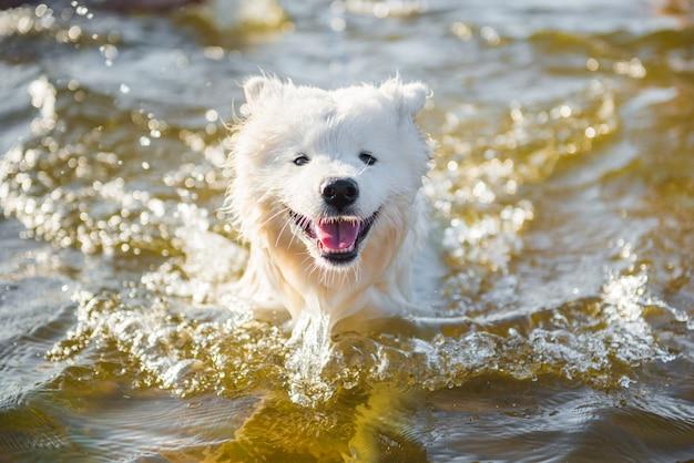 Biały pies samoyed pływa w wodzie na morzu bałtyckim