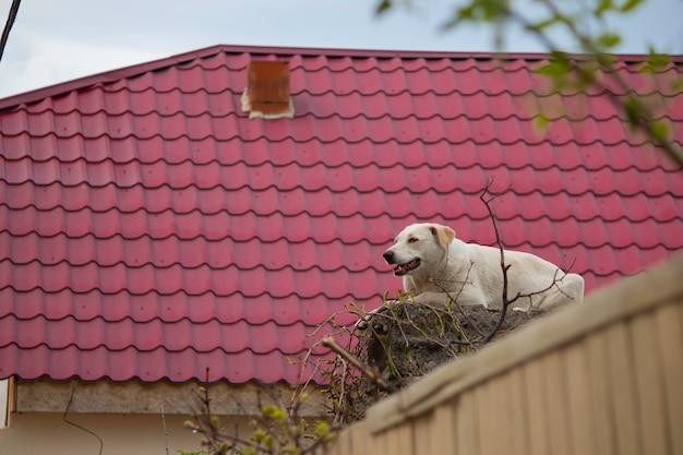 Biały pies uliczny siedzi na betonowych blokach nad ogrodzeniem na tle czerwonego dachu