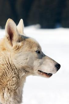 Biały pies w śniegu