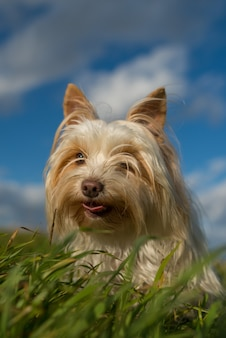 Biały pies yorkshire terrier wśród traw z błękitnym niebem