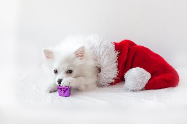 Biały piesek pomorski szczeniak leży w czapce świętego mikołaja, kładzie łapę i wącha mały, zapakowany prezent. koncepcja boże narodzenie i nowy rok.