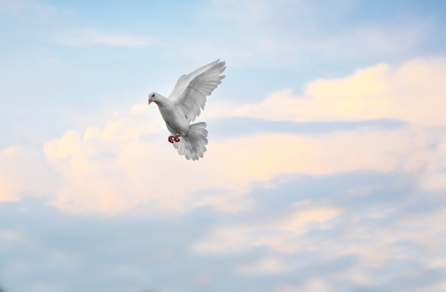 Biały piórkowy gołąb latający gołębi latający w powietrzu przeciw pięknemu niebieskiemu niebu