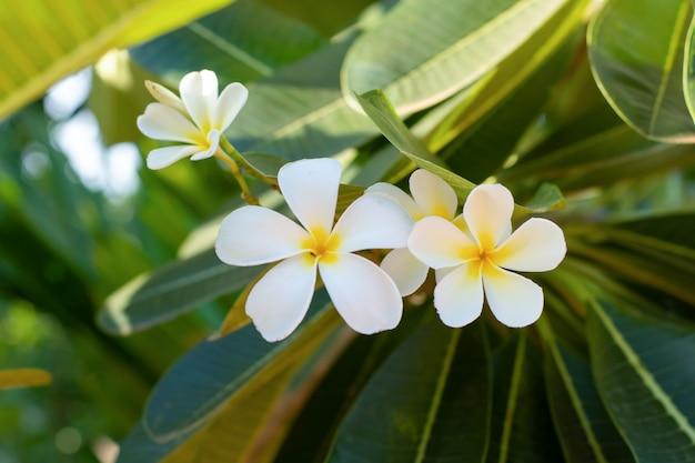 Biały plumeria (frangipani) kwitnie z liściem na drzewie