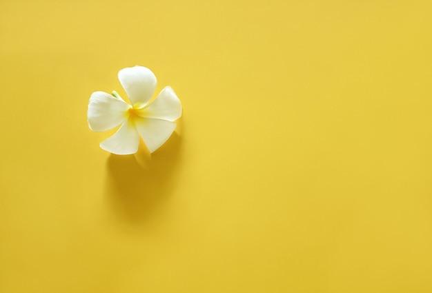 Biały plumeria na jasnym żółtym tle.