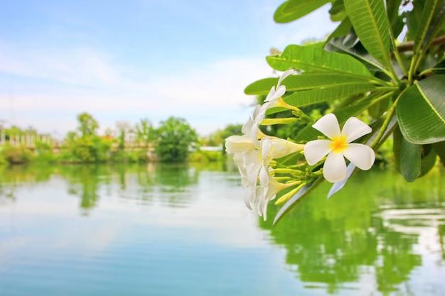 Biały plumeria z basenu i niebieskiego nieba tłem