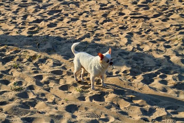 Biały pojedynczy włochaty chihuahua stojący na piasku na plaży