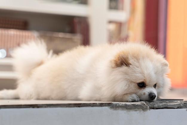 Biały pomorski pies leży smutny i czeka na właściciela