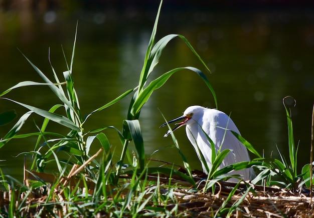 Biały ptak wodny siedzi na trawie w pobliżu jeziora