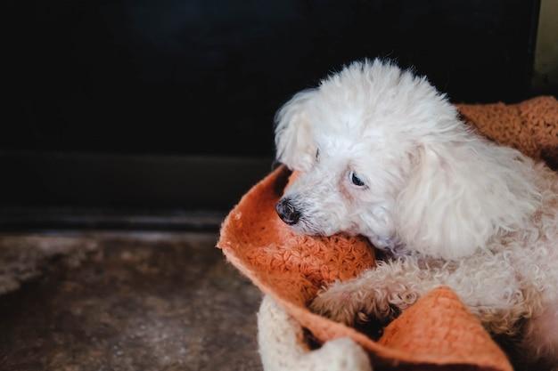 Biały pudel pies ze smutkiem czeka na właściciela.
