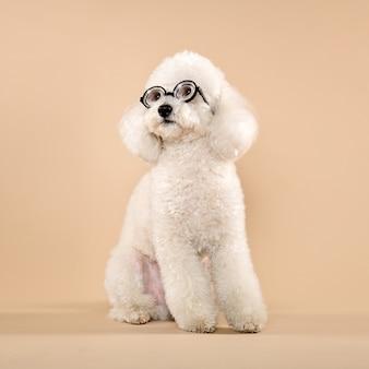 Biały pudel w śmiesznych okularach