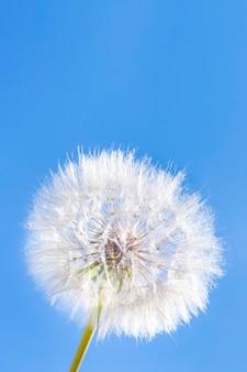 Biały puszysty dandelion na tle niebieskie niebo. okrągła puszysta głowa letniej rośliny z nasionami. pojęcie wolności, marzeń o przyszłości, spokoju. baner pionowy, miejsce.