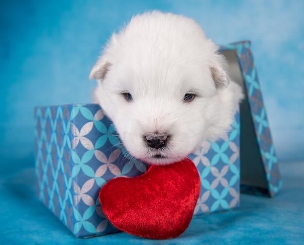 Biały puszysty mały szczeniak rasy samoyed w pudełku prezentowym