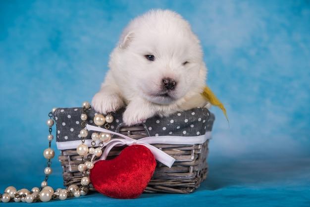 Biały puszysty mały szczeniak rasy samoyed w pudełku