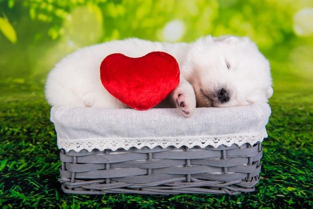 Biały puszysty mały szczeniak samoyed w wieku dwóch tygodni w koszu na zielonej trawie z czerwonym sercem