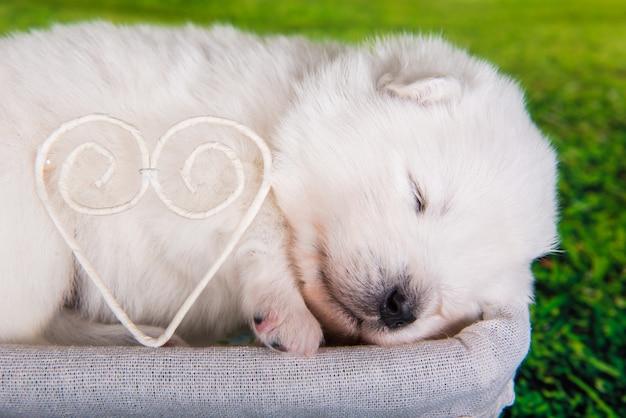 Biały puszysty mały szczeniak samoyed w wieku dwóch tygodni w koszu na zielonej trawie z sercem