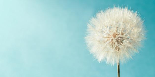 Biały puszysty mniszek lekarski w słońcu na jasnym turkusowym tle, baner. kwitnący kwiat z bliska.