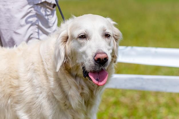 Biały puszysty pies rasy golden retriever z bliska na smyczy w pobliżu swojego pana