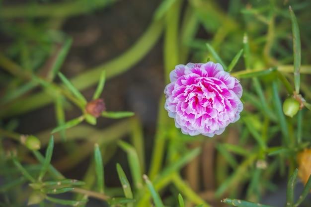 Biały różowy portulaca oleracea kwiat grandiflora na zamazanym tle z przestrzenią dla stawiać tekst