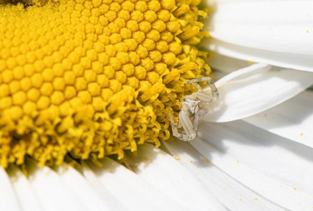 Biały rumianek z żółtą środkową rośliną kwitnie makro- strzał