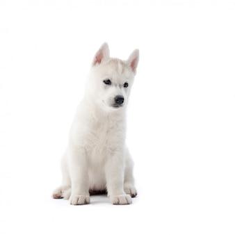 Biały siberian husky szczeniaka siedzi patrząc od hotelu na białym tle na biały lato.
