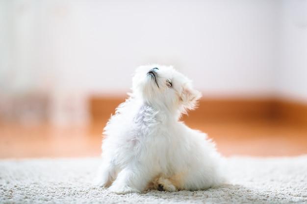 Biały śliczny maltański szczeniak w wieku 2 miesięcy patrzy na nas