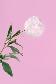 Biały świeży puszysty piony kwiat na różowym tle