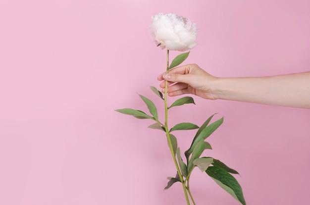 Biały, świeży, puszysty piony kwiat w dłoni na różowym tle