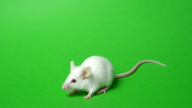 Biały szczur na zielonym ekranie.