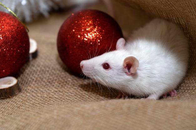 Biały szczur z świąteczną dekoracją