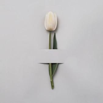 Biały tulipan na szarym tle na świąteczne zaproszenie. kwiat i pasek papieru. minimalna koncepcja wiosny i prezentu.