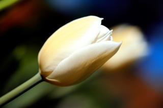 Biały tulipan niebieski