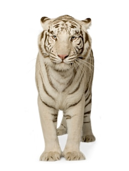 Biały tygrys (3 lata) z przodu na białym tle