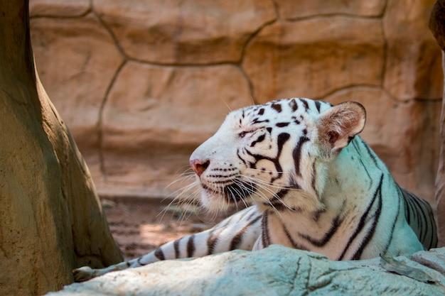 Biały tygrys na naturze. dzikie zwierzęta.