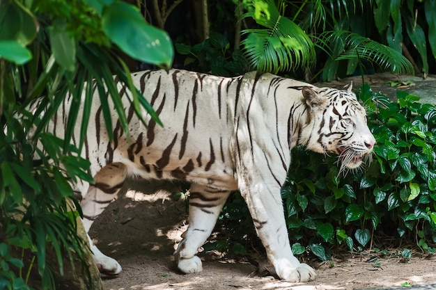 Biały tygrys poważnie koncentruje się na czymś.
