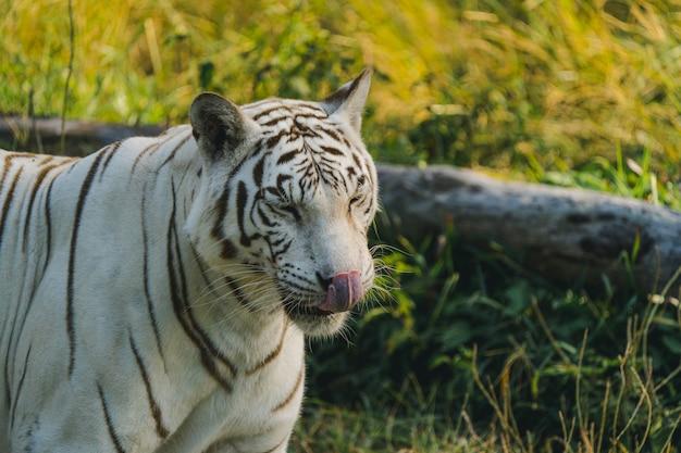 Biały tygrys w zoo czeka na personel.