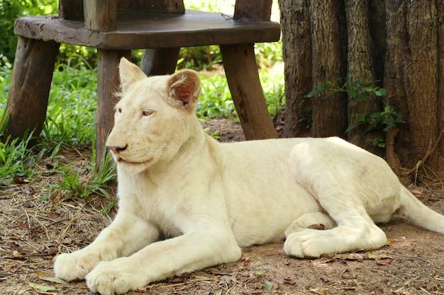 Biały tygrys w zoo
