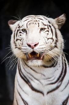 Biały tygrys z bliska