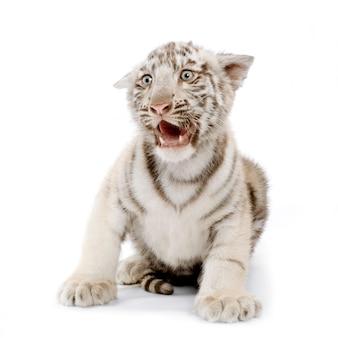 Biały tygrysi lisiątko przed białym tłem