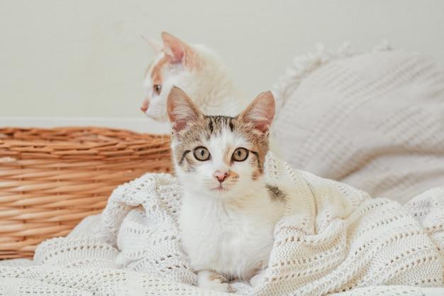 Biały w szare paski kot 3-4 miesiące leży w białym dzianinowym kocu obok wiklinowego kosza i zagląda w ramę. kociak nierasowy