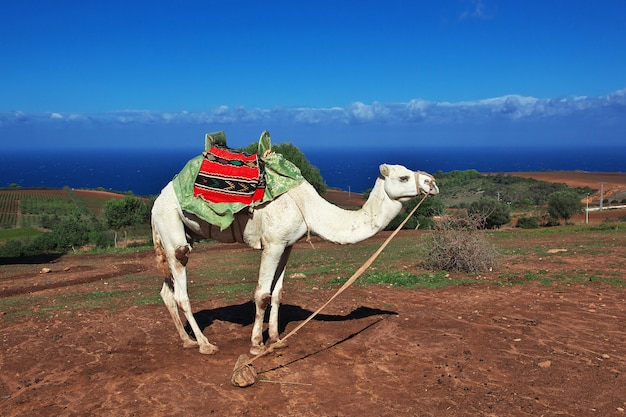 Biały wielbłąd na wybrzeżu morza śródziemnego w algierii, afryka