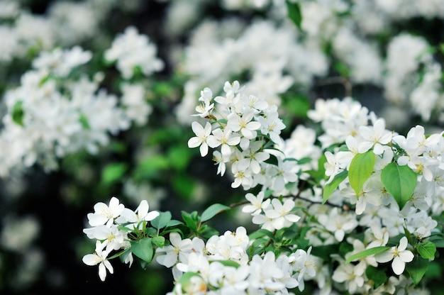 Biały wiśniowy kwiat wiśni. kwiaty na drzewie