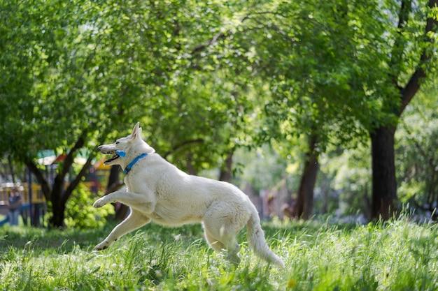 Biały zabawny piękny puszysty owczarek szwajcarski w ruchu biegnie w zielonej trawie