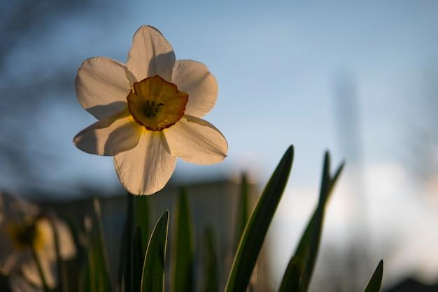 Biały żonkil w podświetleniu zachodzącego słońca