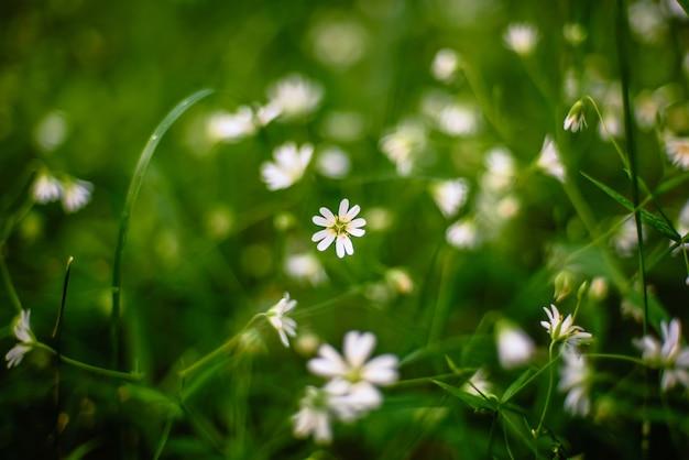 Białych kwiatów stellaria holostea dziki kwitnienie w lesie