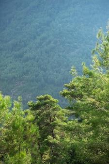 Bibrant aromatyczne drzewa iglaste w górach, hart ducha.