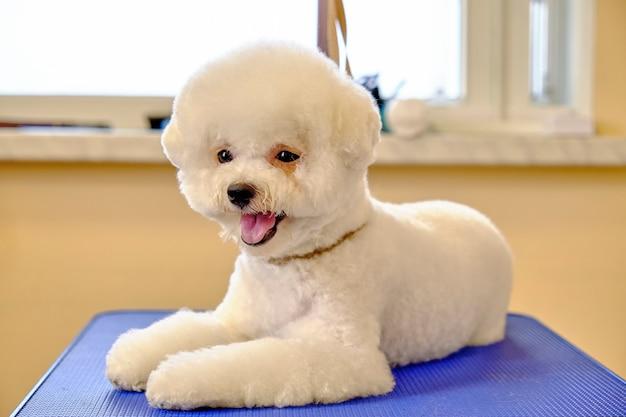 Bichon frise pies z rodowodową nową fryzurą leży na stole pielęgnacyjnym.
